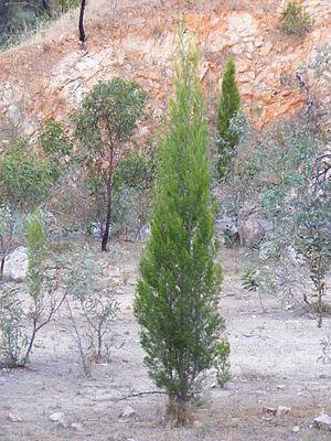 Callitris preissii - Callitris Preissii sapling in Adelaide, South Australia
