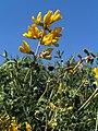 Calophaca wolgarica (ЧКУ) 1.jpg