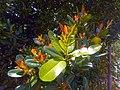 Calophyllum leaves 01.jpg