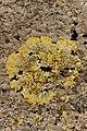 Caloplaca sp. (40961089604).jpg