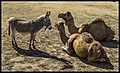 Camels and Donkey at Jamieson Park Scarborough-1 (14654352290).jpg