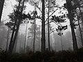 Camino Primitivo, bosque de Castroverde 02.jpg
