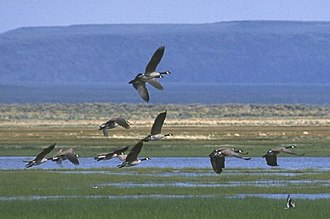Goose Lake Valley - Canadian geese taking off from wetland