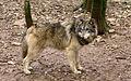 Canis lupus Gramat.jpg