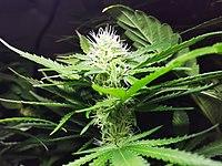 Cannabis 20160411 093402 (26092404540).jpg