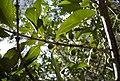 Canthium fruit and foliage.jpg