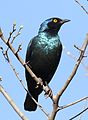 Cape Glossy Starling, Lamprotornis nitens, at Walter Sisulu National Botanical Garden, Gauteng, South Africa (29391130732).jpg