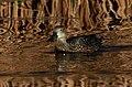 Cape Shoveler, Marievale Bird Sanctuary (9716880779).jpg