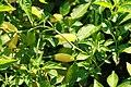 Capsicum baccatum Peru Yellow 2zz.jpg