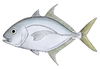 Carangoides chrysophrys2.png