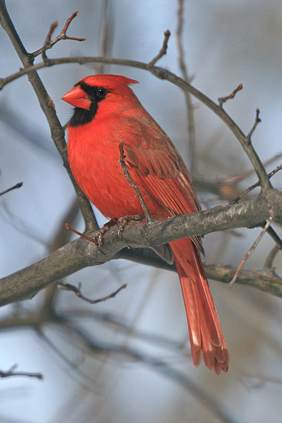 Highergifted Red Bird Phoenix Cardinal