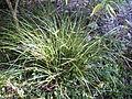 Carex appressa (3517065443).jpg