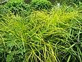 Carex elata 'Aurea' (02).jpg