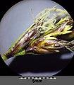 Carex praecox sl20.jpg
