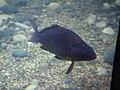 Carpa Sea Life Gardaland.jpg