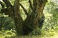 Carpinus betulus trunk.jpg