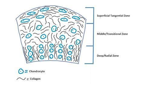 Artificial Cartilage Wikipedia
