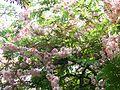 Cassia grandis (481169583).jpg