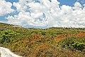 Cassytha filiformis (Bahamian love vine) (San Salvador Island, Bahamas) 1 (48303449896).jpg