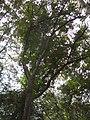 Castanopsis cuspidata4.jpg