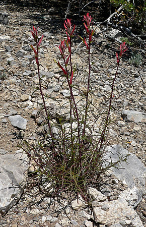Description de l'image Castilleja linariifolia 1.jpg.