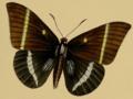 Castnia papilionaris in Westwood 1877.png