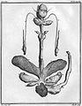 Castor reproduction glandes périannales.jpg