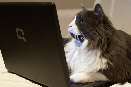 Cat on laptop - Just Browsing