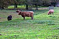 Cattle Grazing, South Ferriby - geograph.org.uk - 52565.jpg