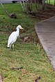 Cattle egret bird Maui Hawaii (45690041732).jpg