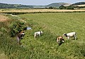 Cattle in the River - geograph.org.uk - 202965.jpg