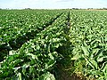Cauli crop - geograph.org.uk - 1019379.jpg