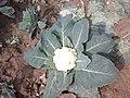 Cauliflower 1 bd-c.jpg