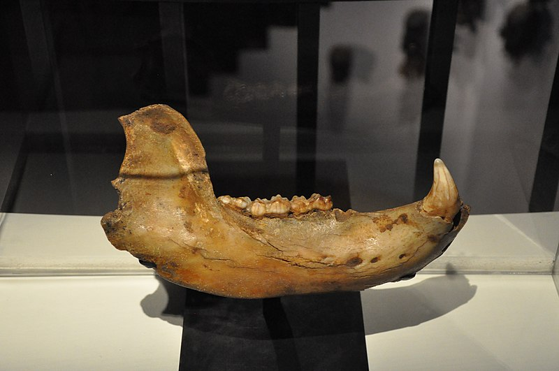 File:Cave bear jaw, France (Dordogne).jpg
