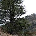 Cedrus libani atlantica Rif.jpg