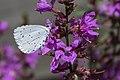 Celastrina argiolus Boomblauwtje 1-5 (21081939552).jpg