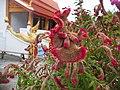 Celosia argentea var. cristata habitus Laos.jpg