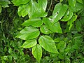 Celtis tenuifolia leaves.JPG
