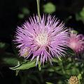 Centaurea phrygia-IMG 3550.jpg