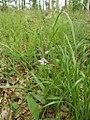 Cephalanthera rubra plant 150604.jpg