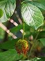 Cephalanthus occidentalis Guzikowiec zachodni 2015-08-30 02.jpg