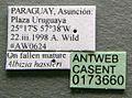 Cephalotes angustus casent0173660 label 1.jpg