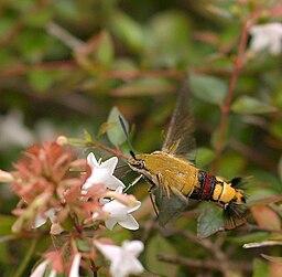 Cephonodes hylas hylas Linnaeus