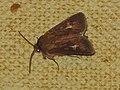 Cerapteryx graminis - Antler moth - Совка травяная (26194952287).jpg