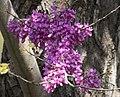 Cercis siliquastrum - Judas tree 09.jpg