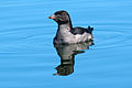 Cerorhinca monocerata -Protection Island National Wildlife Refuge, Jefferson County, Washington, USA-8.jpg