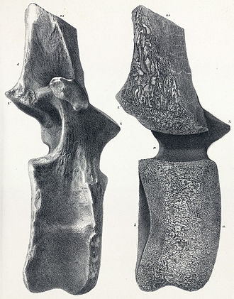 Pelorosaurus - Dorsal vertebra assigned to Cetiosaurus brevis