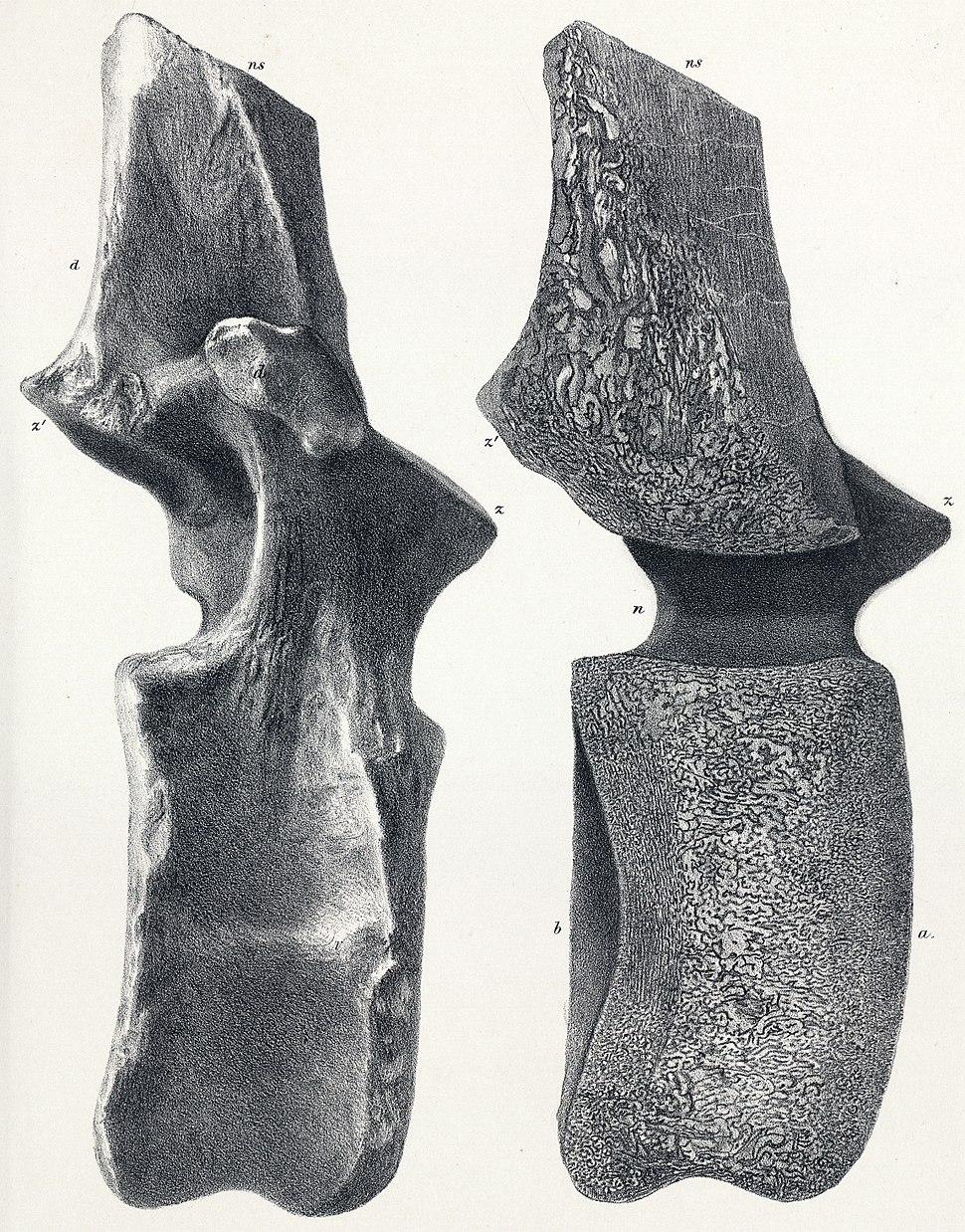 Cetiosaurus brevis dorsal vertebra