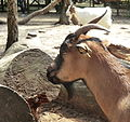 Chèvre naine à la pinède des singes (Labenne).JPG