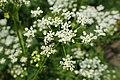 Chaerophyllum aureum kz03.jpg